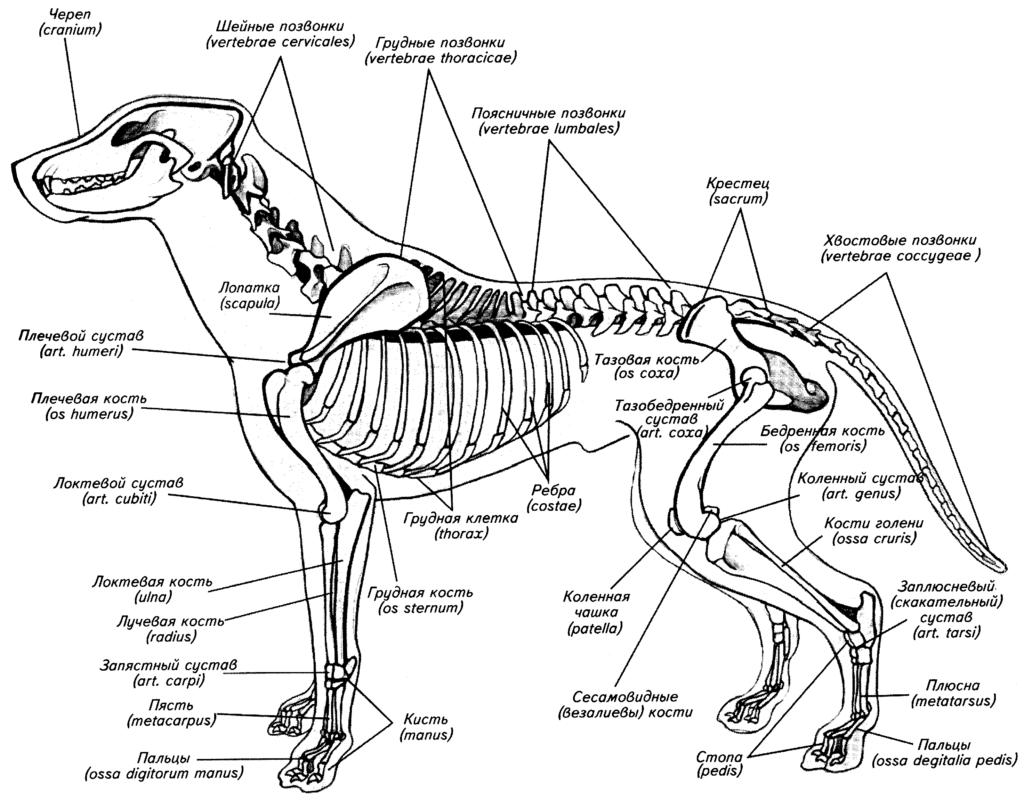 Скелет собаки — анатомия черепа, позвоночника, ребра