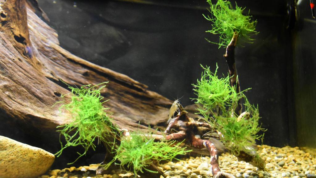 Правильное содержание яванского мха в аквариуме