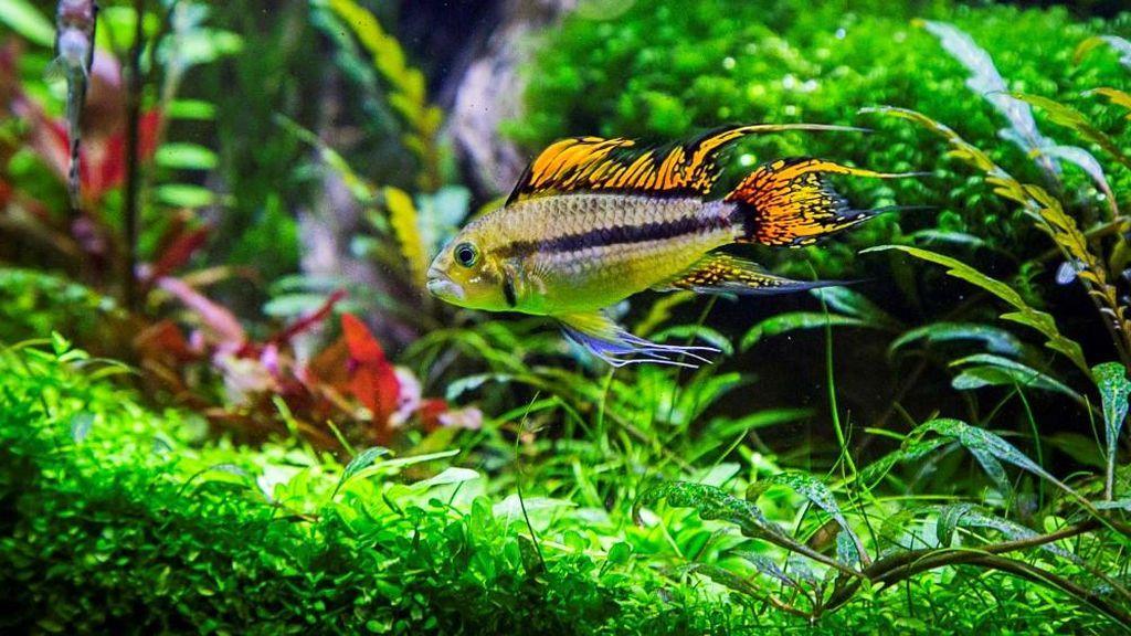 В аквариуме нужны убежища, например, насыпи камешков, коряги, пещерки, растения