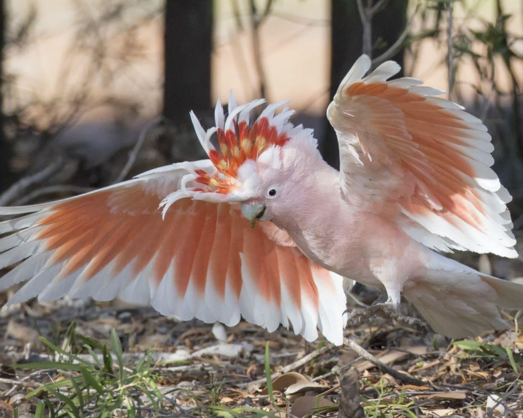 Какаду инка – самый красивый среди собратьев какаду