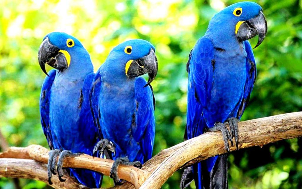 Подробное описание попугая большой гиацинтовый ара