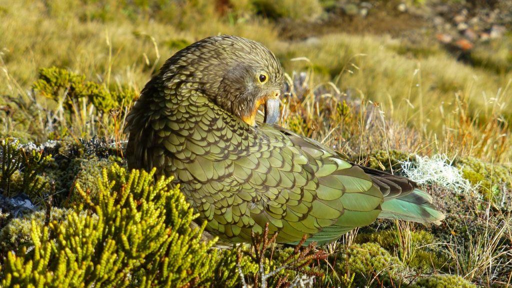Хищный попугай кea из Новой Зеландии считается одной из самых умных птиц в мире
