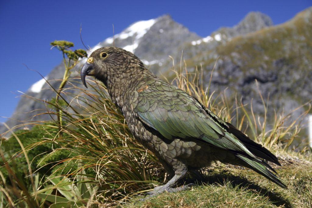 Кеа можно встретить в лесных долинах, буковых лесах, на альпийских лугах