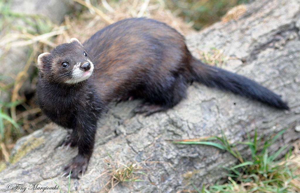 В среднем, длина туловища составляет 40 см у самок и примерно 50 см у самцов