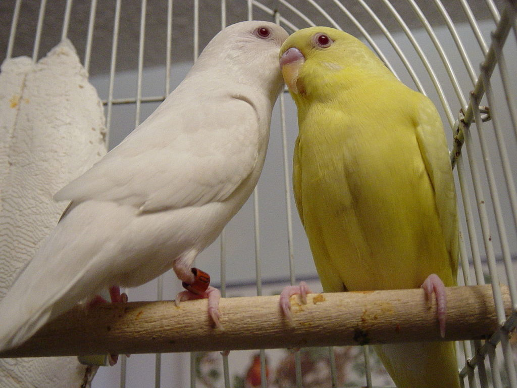 Лютино и альбино Lutino и Albino