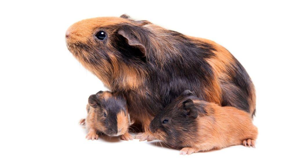 Сколько длится беременность у морских свинок и как они рожают