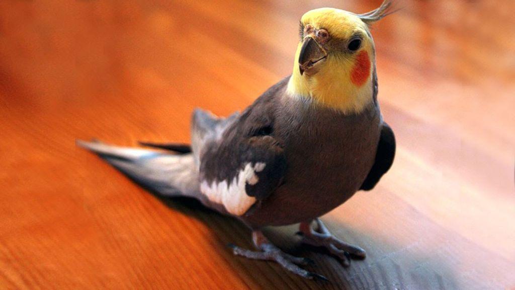 Кореллы относятся к одному из самых разговорчивых видов попугаев