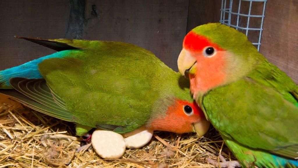 Попугаи способны спариваться на протяжении всего года