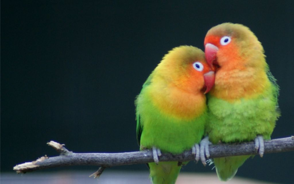 Неразлучники – одни из самых верных попугаев