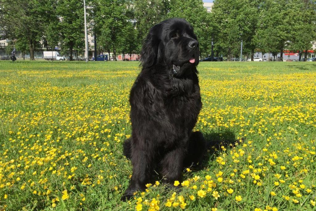 15 самых больших собак в мире и названия пород