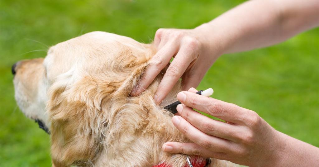 Симптомы и лечение собаки в домашних условиях, если её укусил клещ