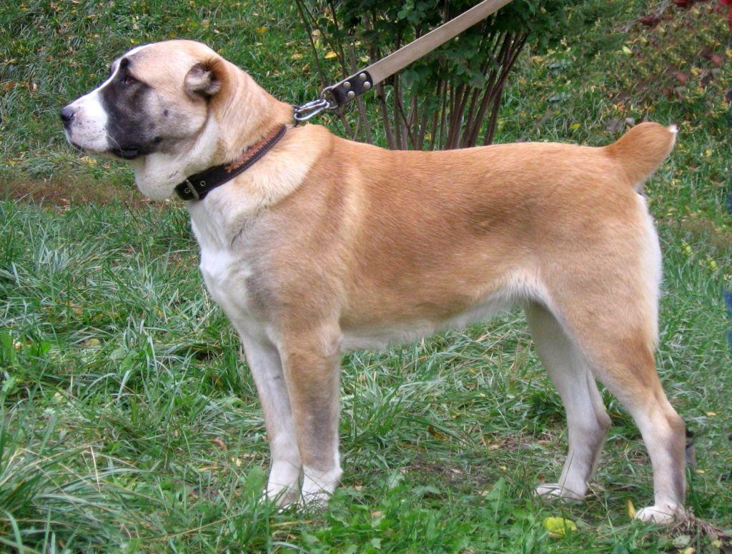 Подробное описание породы собак среднеазиатская овчарка