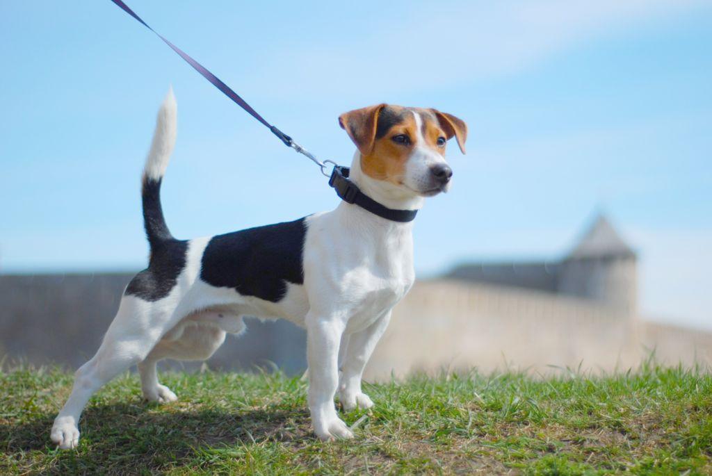 Полное описание и характеристика породы собак джек рассел терьер