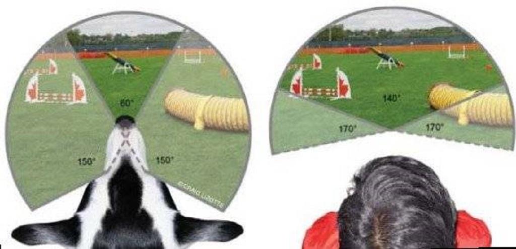 Отличие зрения собаки и человека