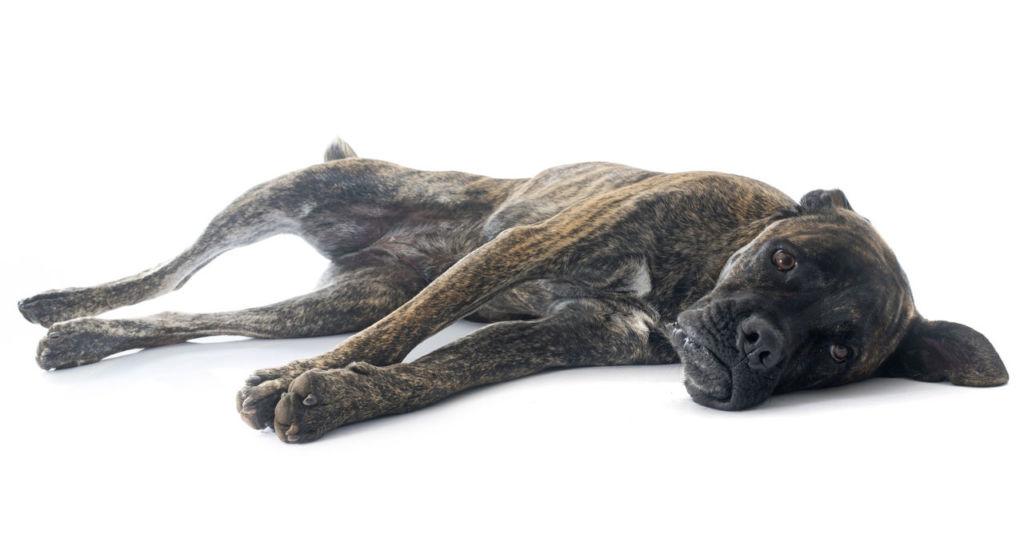 Что делать с гнойными выделениями у собаки из мочеиспускательного канала