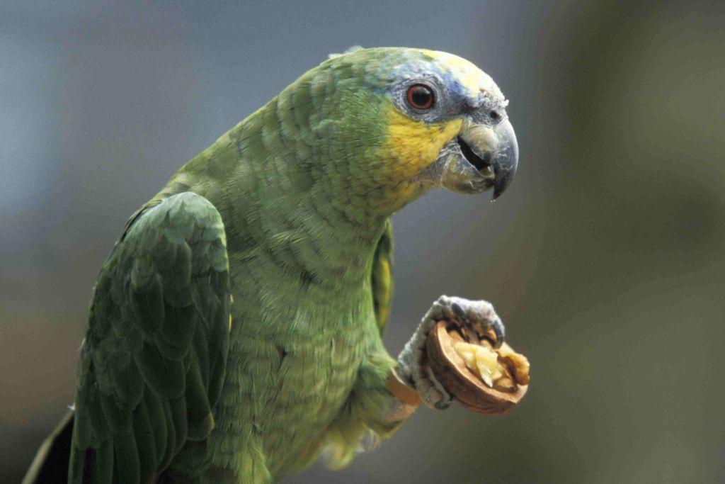 Прежде, чем отучить попугая о крика, следует определить их причину