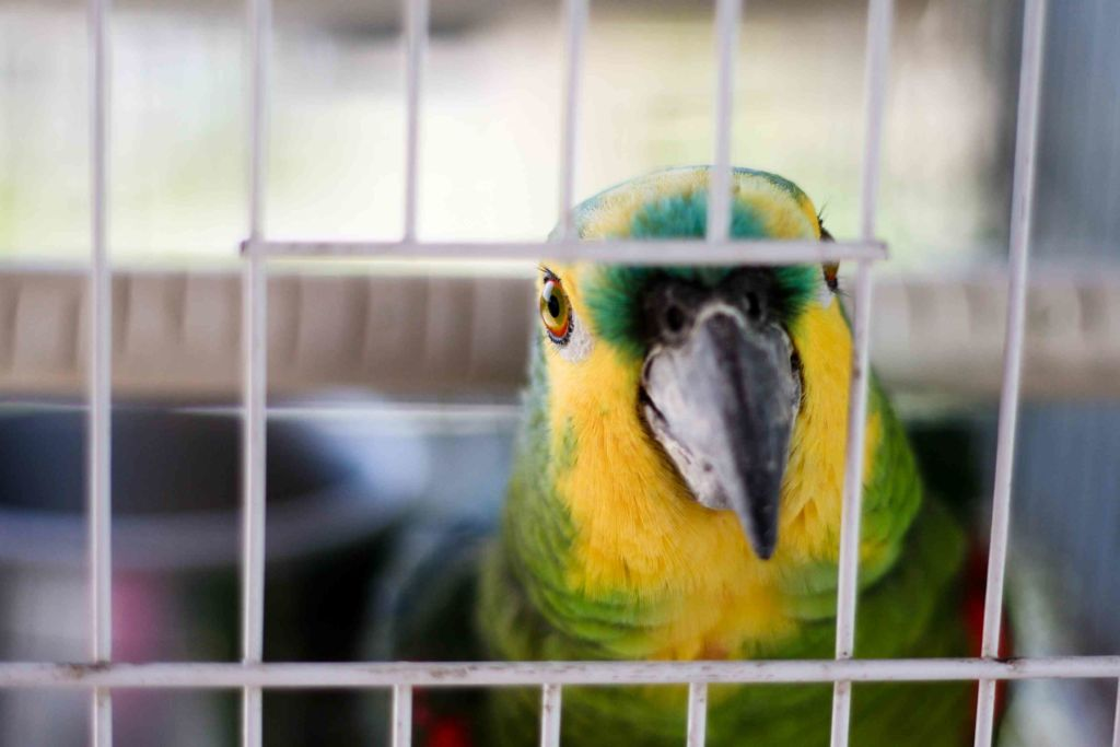 Попугай сам по себе является довольно шумной птицей