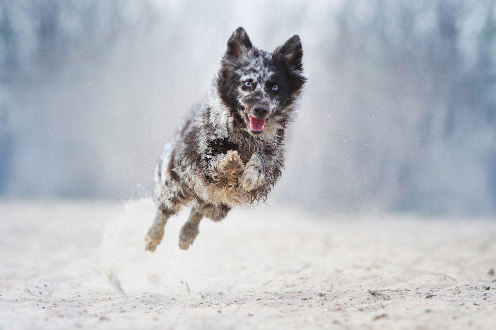 14 самых лучших пастушьих пород собак