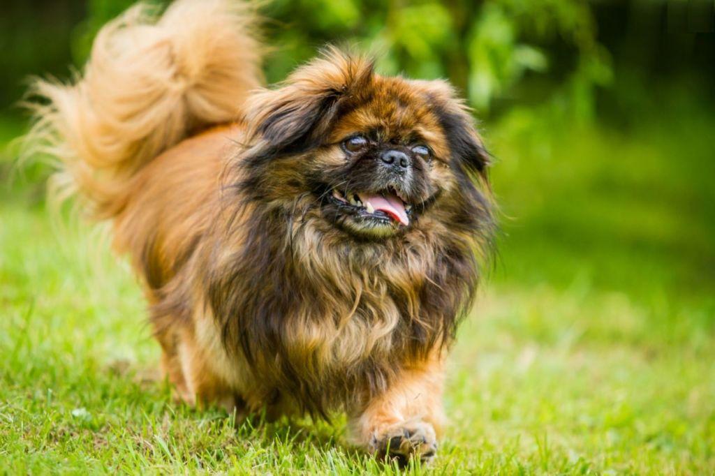 Подробное описание и характеристика породы собак пекинес