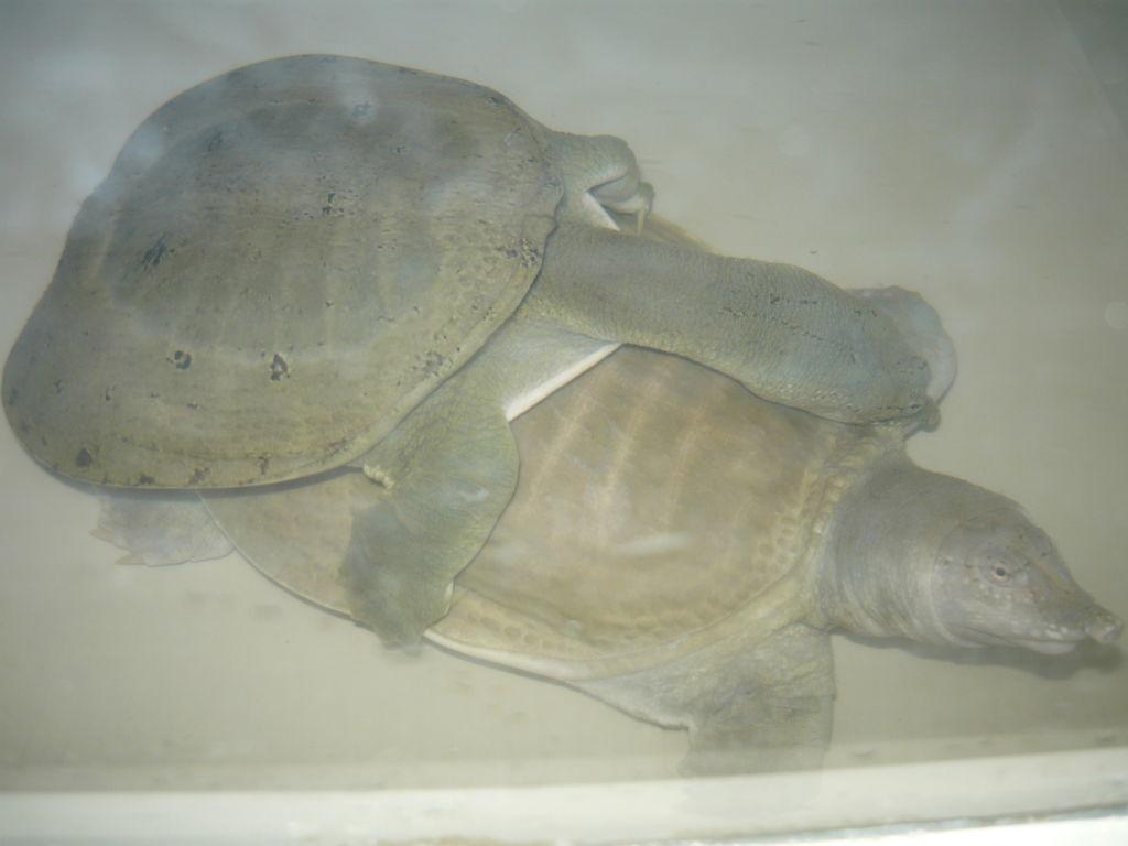Брачный период у дальневосточных черепах начинается во второй половине весны