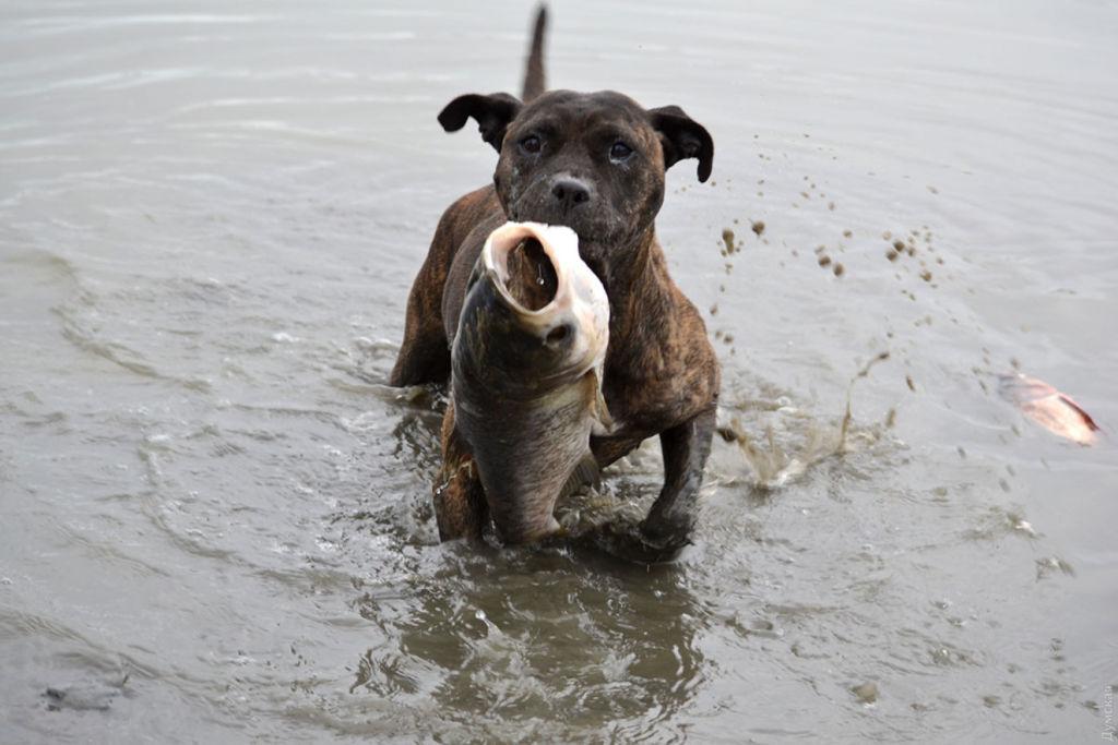 Свежую рыбу собаке можно давать не чаще раза в неделю