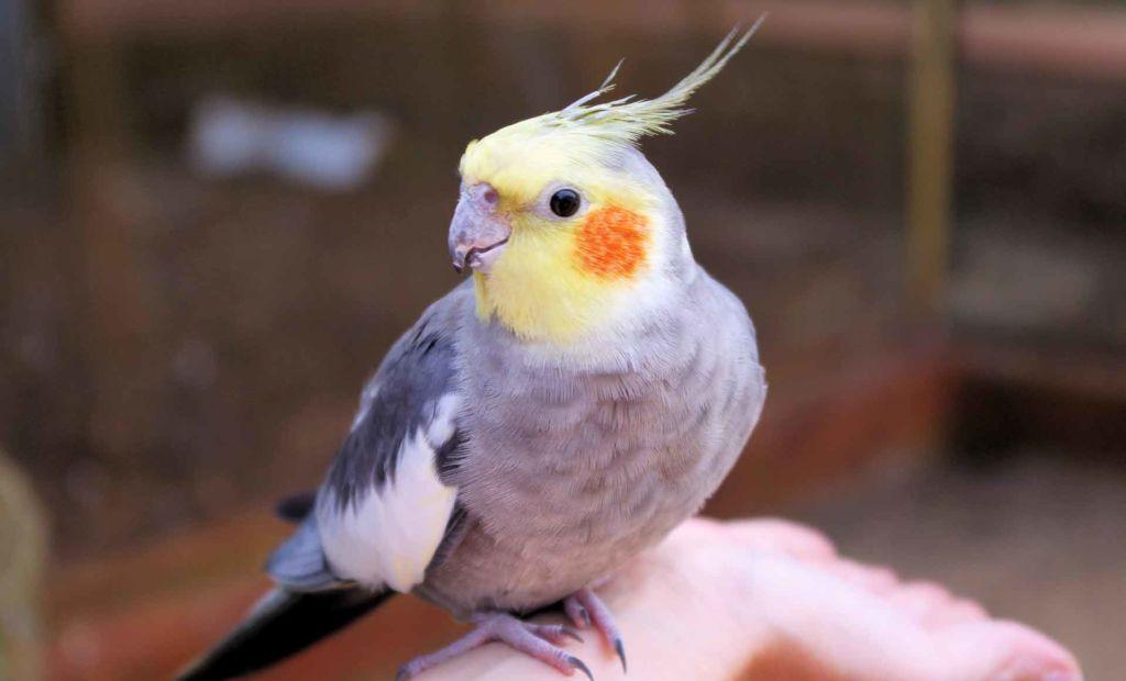 Попугай корелла очень любит общение