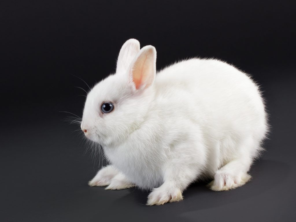 Крольчонок гермелин