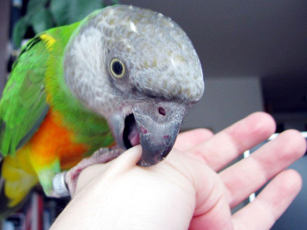 Попугаи, которые еще не привыкли к новому владельцу, крайне болезненно выносят близкий контакт