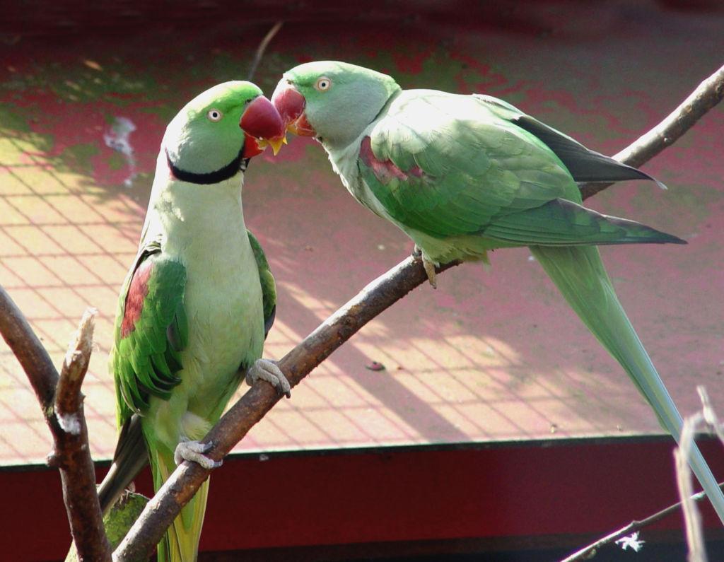 Ожереловый (индийский кольчатый) попугай