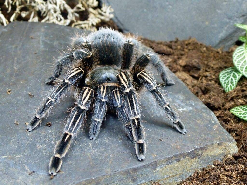Подробное описание и характеристика паука птицееда