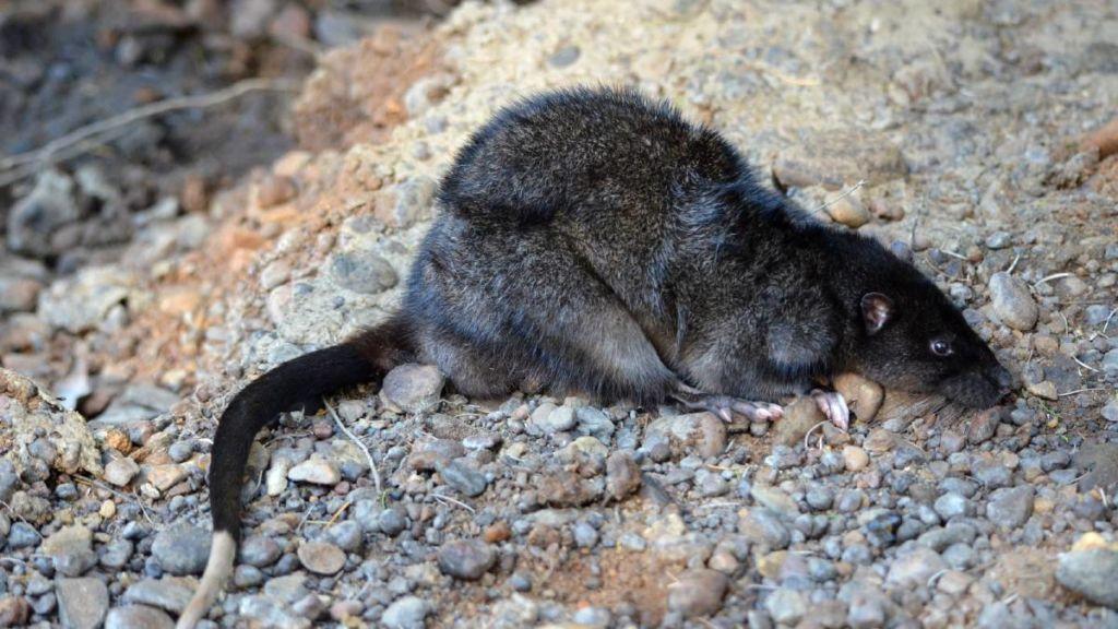 водяная крыса с виду похожа на обычную серую