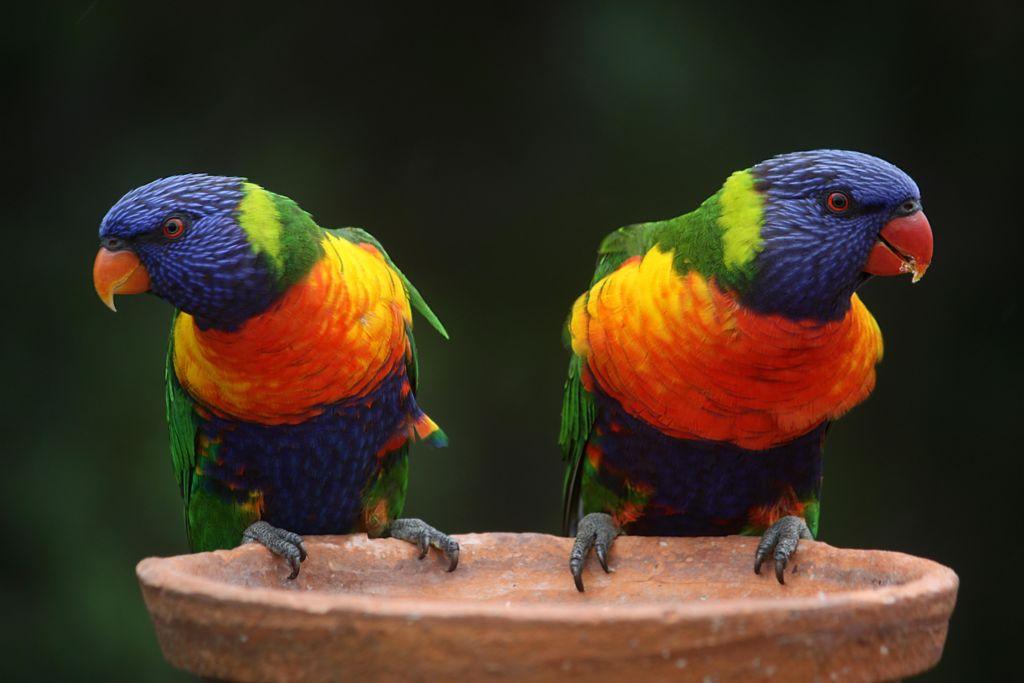 Многоцветный (радужный) лорикет