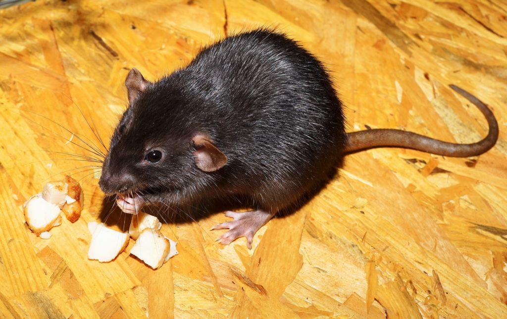 Черная декоративная крыса
