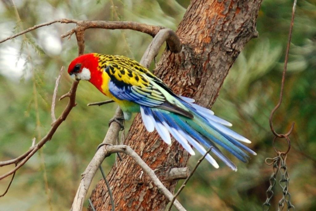 Подробное описание попугая розелла и его содержание в неволе