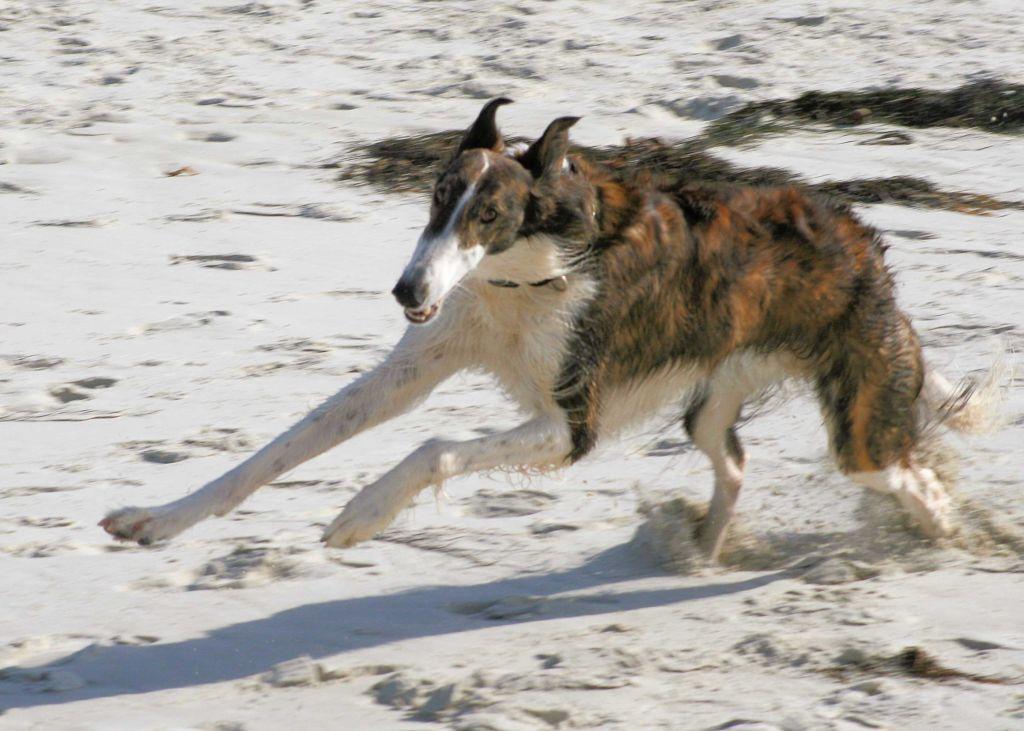 10 самых быстрых пород собак в мире