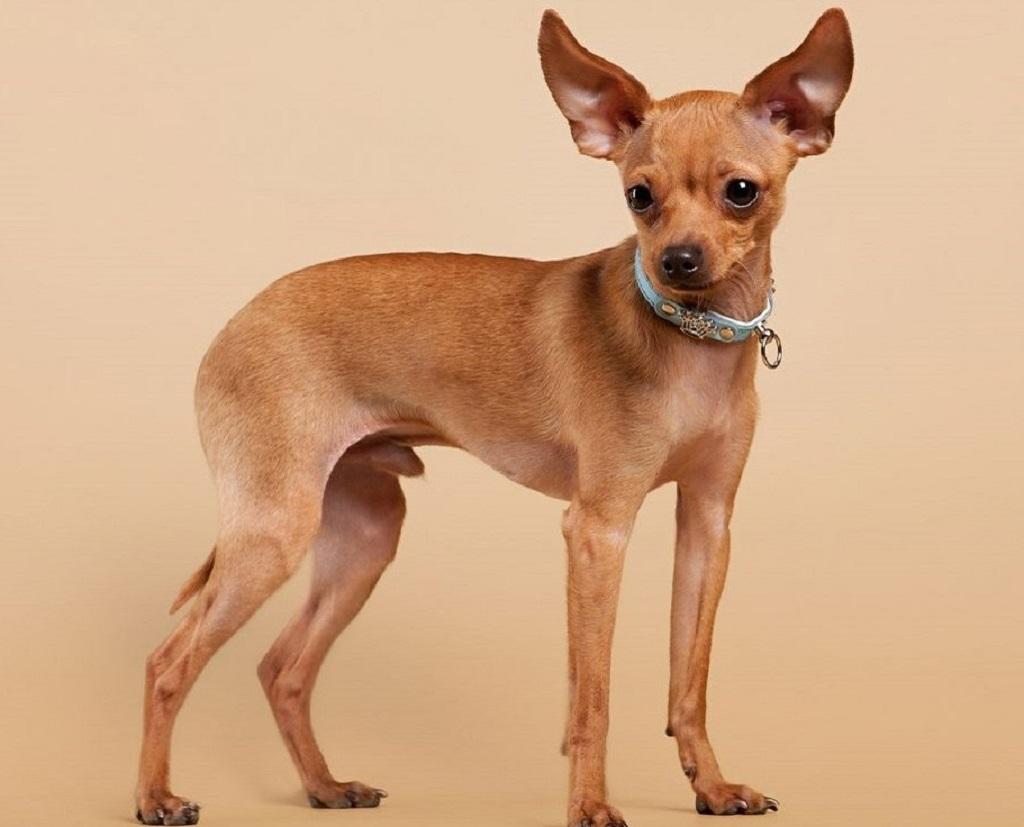 Полное описание породы и характер собак той терьер