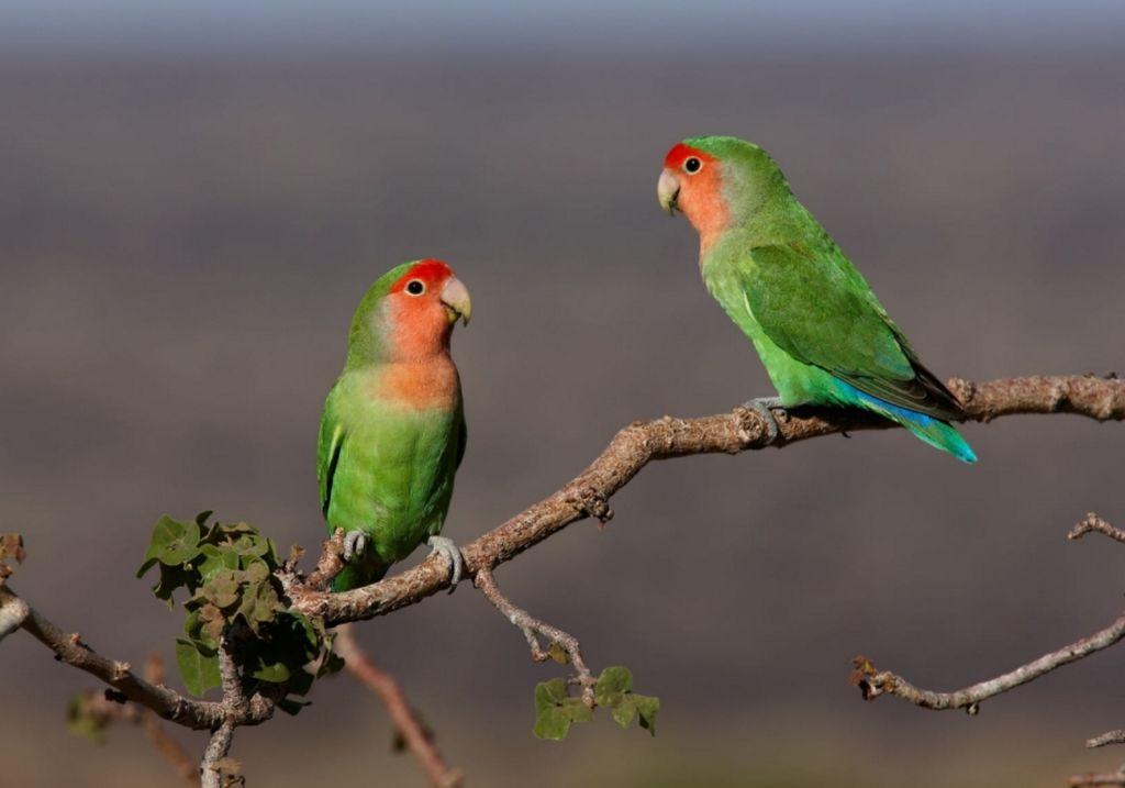 Нередко те птицы, которые живут в неволе без пары, из-за переизбытка гормонов в организме тоже выдергивают свои перья