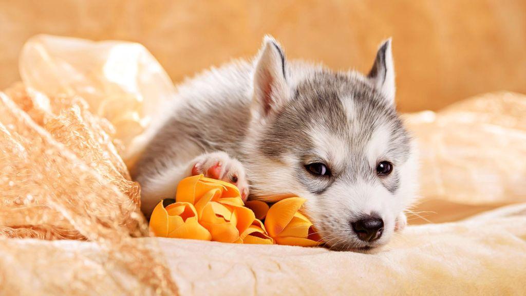 6 побочных эффектов у щенков после прививки и возможные осложнения