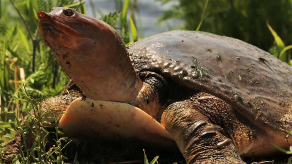 Китайский трионикс или дальневосточная водная черепаха