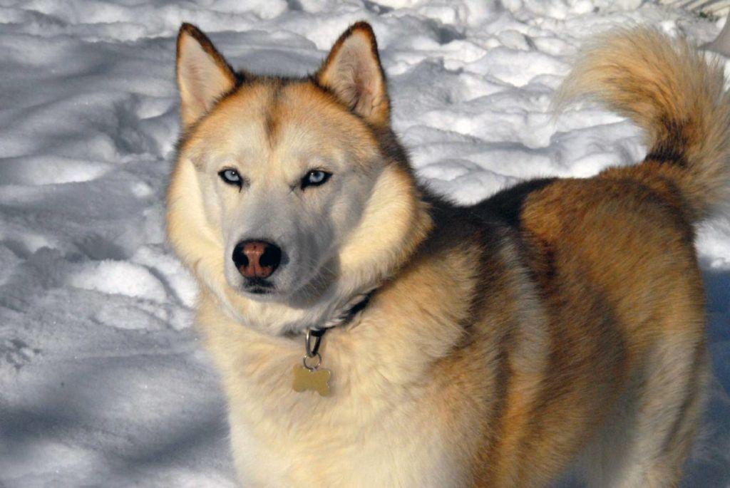 12 популярных японских пород собак