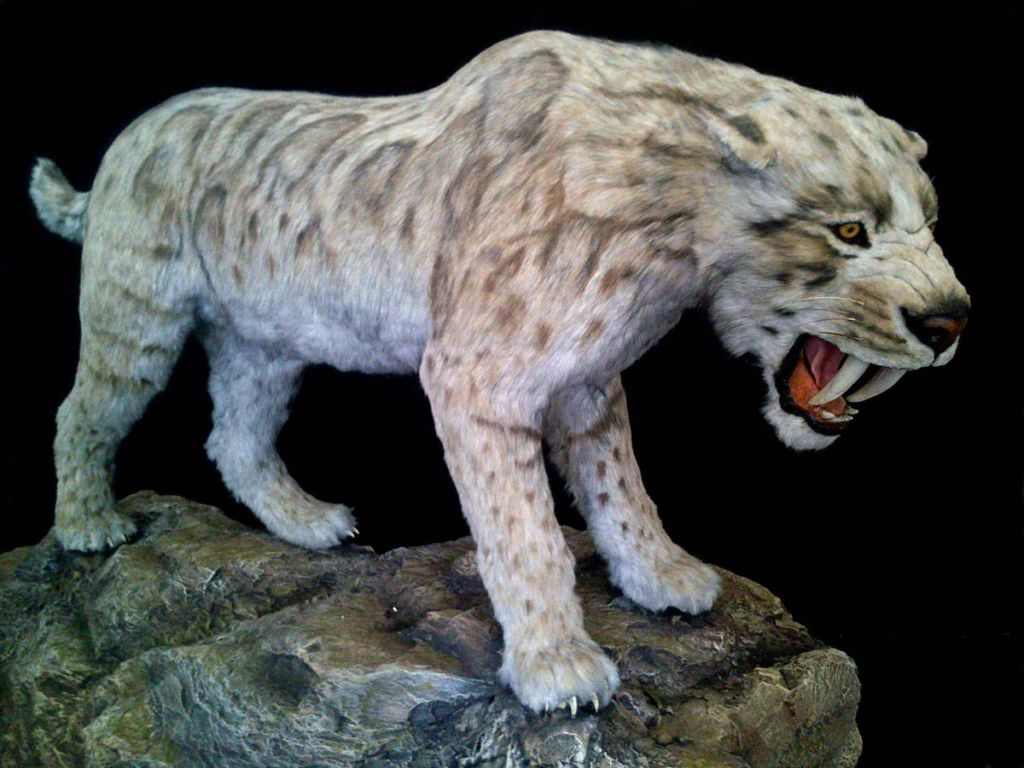 Подробное описание саблезубого тигра и причины вымирания смилодона
