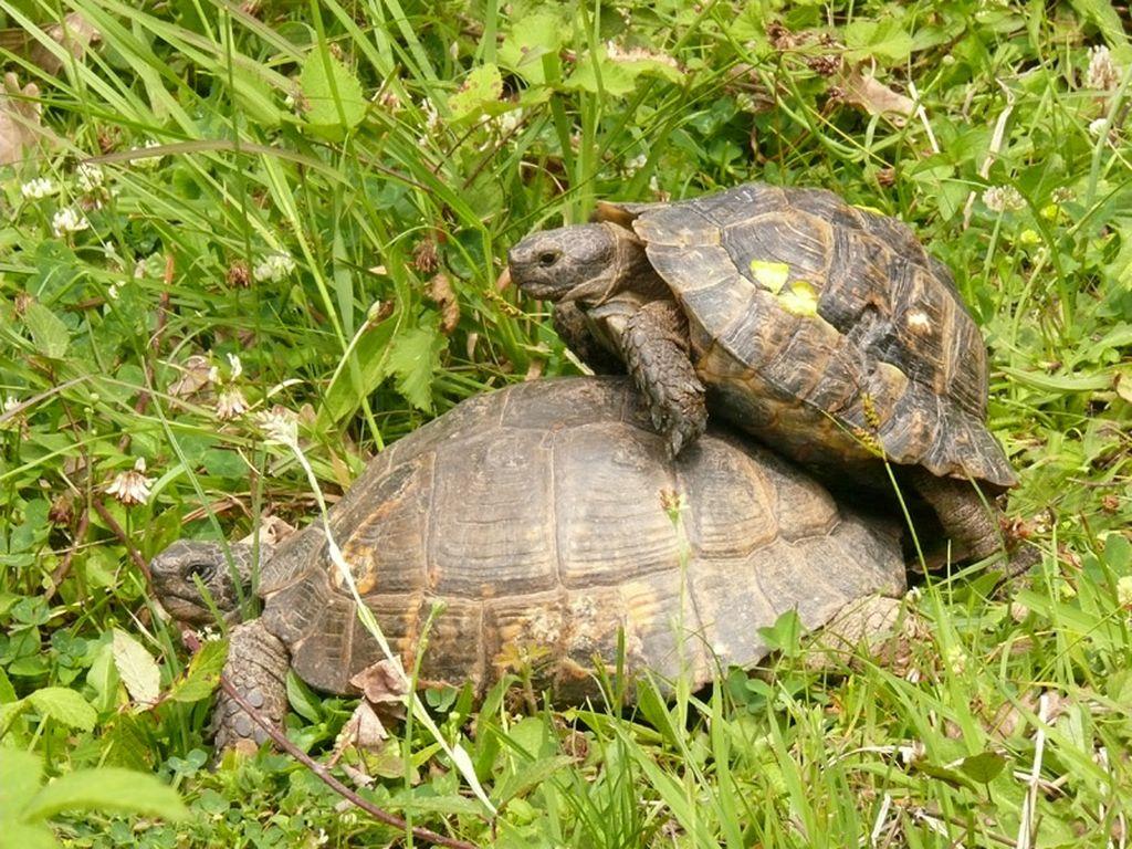 Во время спаривания самец взбирается на самку и использует свой хвост, имеющий половой орган