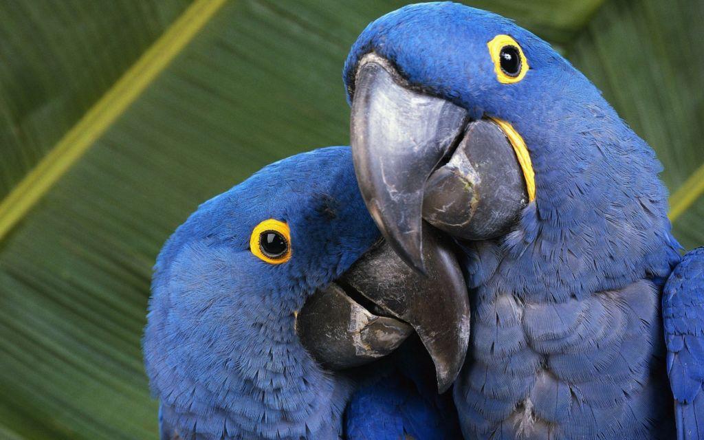 Гиацинтовый ара – стайная птица, но, не смотря на это, пару выбирает себе один раз и на всю жизнь