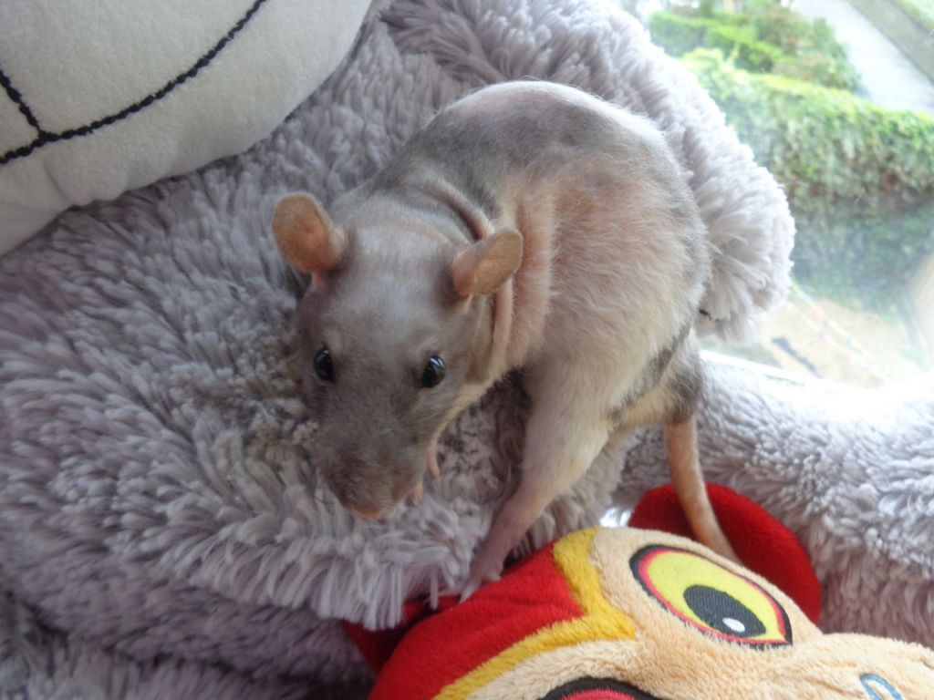 Декоративная крыса породы дабл рекс
