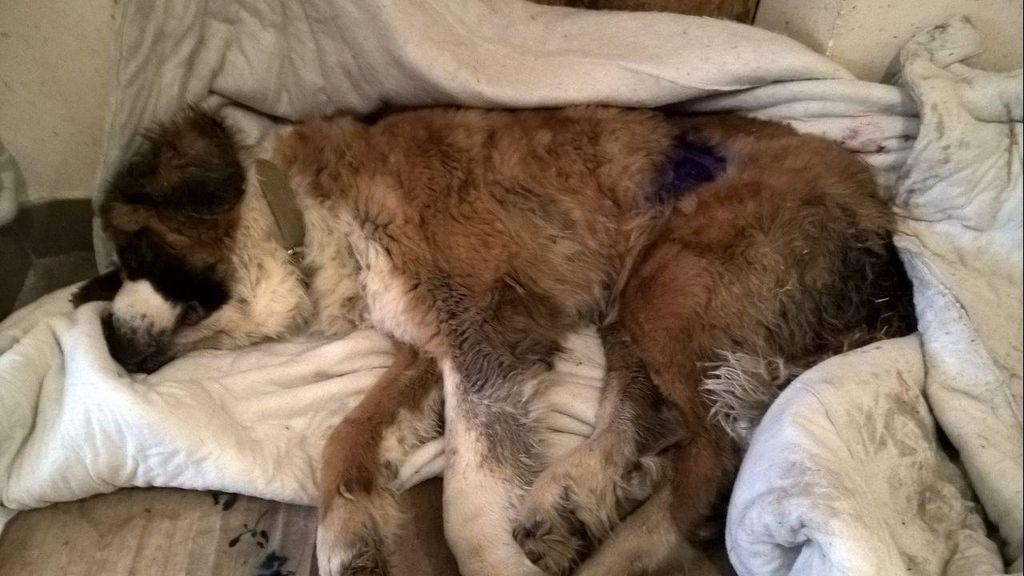 Самостоятельное усыпление собаки допустимо только в случае крайней необходимости