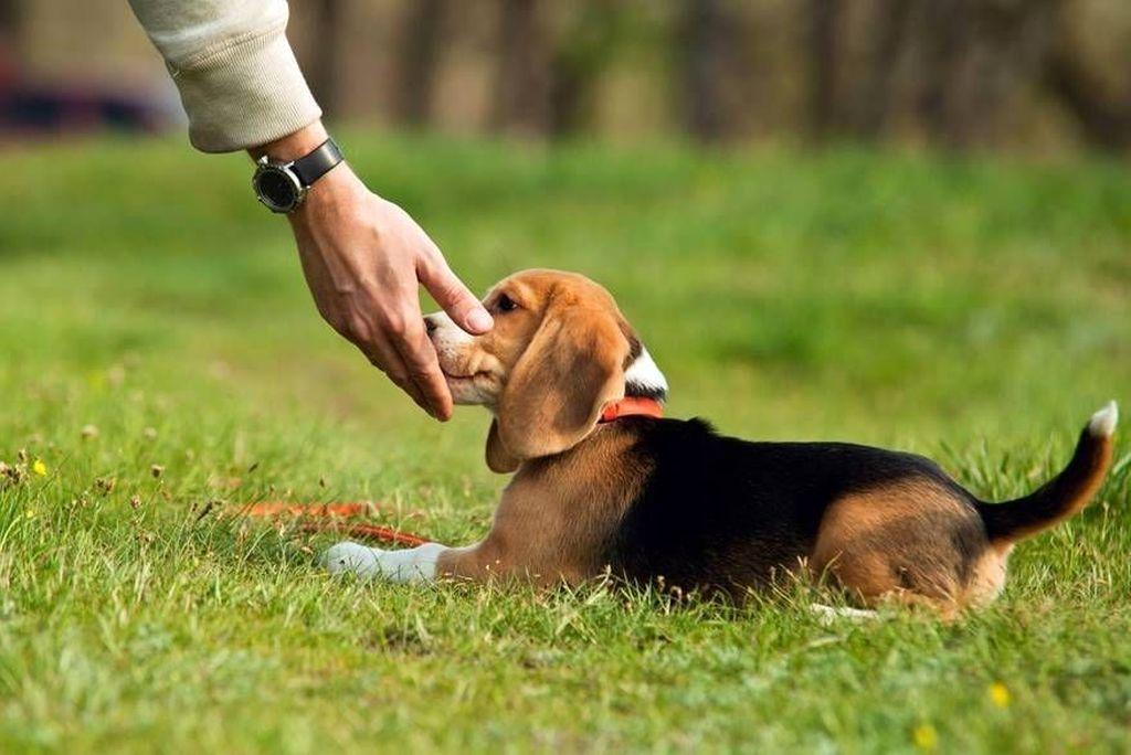 Человеческая семья воспринимается псом как стая, в которой должен быть лидер