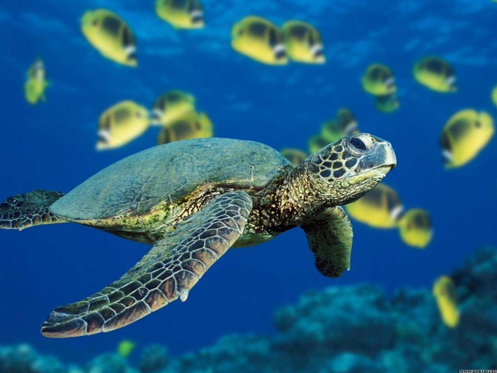 Зеленая морская черепаха