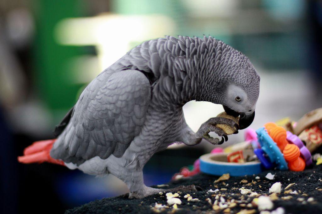 Основа рациона попугая – семечки и зерно