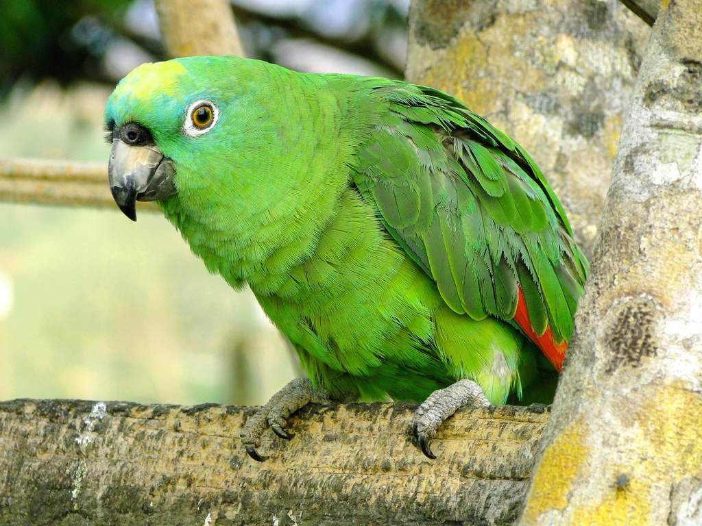 Амазоны признаны лучшими звукоподражателями среди американских попугаев