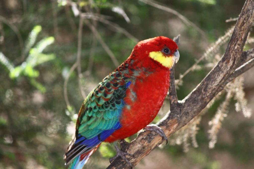 У самцов и самок нет различий в окраске оперения, их отличают по размерам головы
